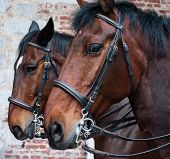 pic of bareback  - pair of beautiful horses with brown hair with extraordinary expressive look - JPG