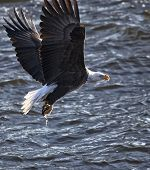 stock photo of fish-eagle  - American bald eagle catches fish in its talons - JPG