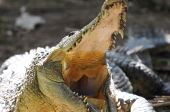 huge american crocodile showing off teeth whilst basking