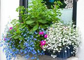 Window box with blue edging lobelia and butterfly stone crop plants