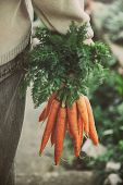 stock photo of carrot  - Fresh carrots - JPG