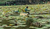 A Man Is Clearing Weeds From A Great Lotus Pond In Thailand