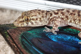 image of hemidactylus  - This is a photograph of a Mediterranean Gecko  - JPG