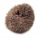 Hedgehog Balled Up