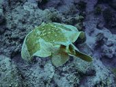 stock photo of panther  - A Panther electric ray  - JPG