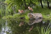 Two Foxes with Beautiful Lake Reflections