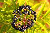 Elderberry, Sambucus Berries