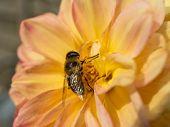 Bee On Yellow Dahlia