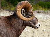 stock photo of rocky-mountains  - Big Horn Sheep of the Rocky Mountains - JPG