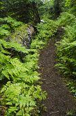 Path Through The Ferns
