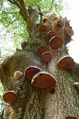 Bracket Fungi On A Tree