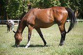 Purebred horse grazing