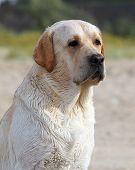 Labrador At The Sea Portrait