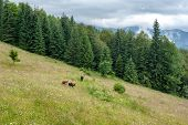 Cows At Mountains Pasturage. Foggy Morning Landscape With Pine Tree Highland Forest At Carpathian