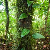 Wild Liana Plant Growing In Deep Mossy Tropical Rain Forest. Nature Background