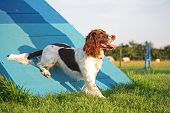 A Cute Liver And White Working Type English Springer Spaniel Pet Gundog Enjoying Agility