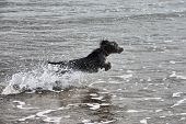 A Wet Young Brown Working Type Cocker Spaniel Puppy Leaping Into The Sea