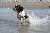 Liver And White Working Type English Springer Spaniel Pet Gundog Leaping Into The Sea