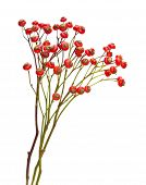 Bunch Of Rose Hips Isolated