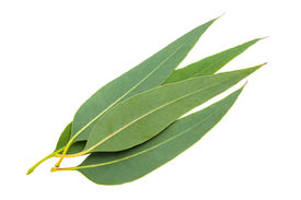 pic of eucalyptus leaves  - eucalyptus leaves isolated on a white background - JPG
