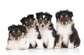 Group Of Shelti Puppies