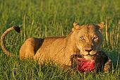 picture of sub-saharan  - Lioness with part of a wildebeest - JPG
