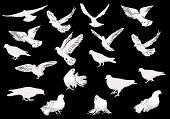 illustration with nineteen white pigeons isolated on black background