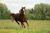 Chestnut Beautiful Horse Galloping At The Blooming Meadow