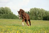 stock photo of galloping horse  - Chestnut beautiful horse galloping at the meadow with flowers - JPG