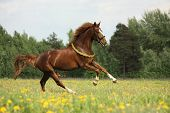 Chestnut Horse With Flower Cilrclet Galloping