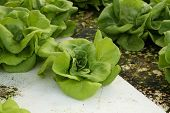 Butter Head, Cultivation Hydroponics Green Vegetable
