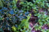 foto of mistletoe  - Background of Tropical Mistletoe plant in the wild - JPG
