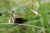 Metamorphosis in Grasshoppers