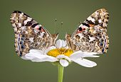 Two Painted Ladies On Daisy