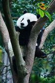 one Panda bear Bifengxia base reserve Sichuan China