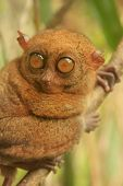 foto of southeast  - Tarsier sitting on a tree Bohol island Philippines Southeast Asia