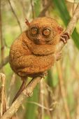 image of southeast  - Tarsier sitting on a tree Bohol island Philippines Southeast Asia