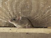 eastern house mouse