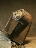 stock photo of peep  - The house mouse peeping out of an old flat iron which it chose for its nest - JPG