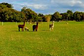 pic of alpaca  - three Alpacas stare at  me on my way to Adelaide - JPG