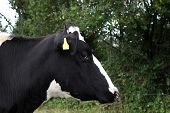 Closeup Of A Black And White Cow