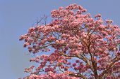 stock photo of trumpet flower  - Pink trumpet tree flower blooming with sky background - JPG