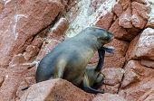 image of sea lion  - Islas Ballestas - JPG