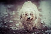 foto of bad mood  - A small white Havanese runs in a bad mood by the world - JPG