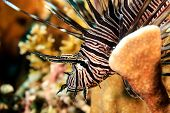 Beautiful Lionfish On A Reef