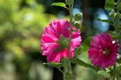 picture of hollyhock  - A beautiful blooming hollyhock Alcea rosea in the park - JPG