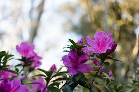 picture of azalea  - Azalea flower blooming in the spring in the south  - JPG