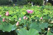 picture of ponds  - Lotus flowers and buds - JPG