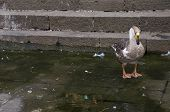 foto of webbed feet white  - A white and brown duck resting on the bank of a pond - JPG