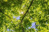 image of penetration  - Branches and leaves of chestnut in the summer through which penetrate the sun - JPG